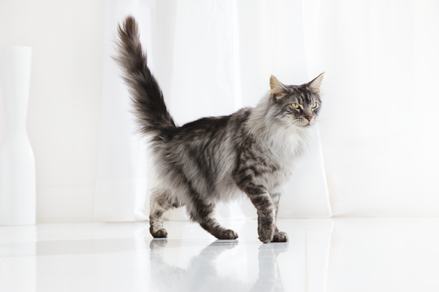 article-maine-coon