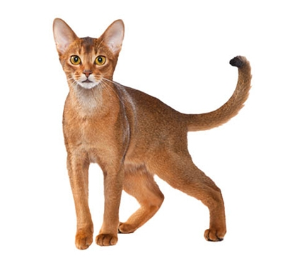 Abyssinian Breed