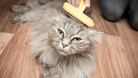 Grey long haired kitten being brushed